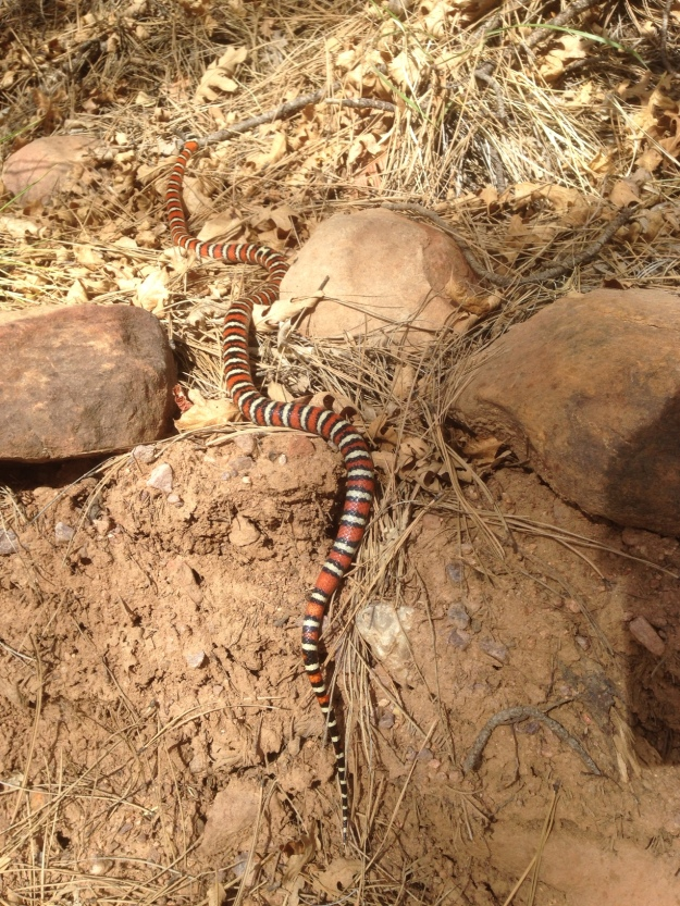 King snake on the trail