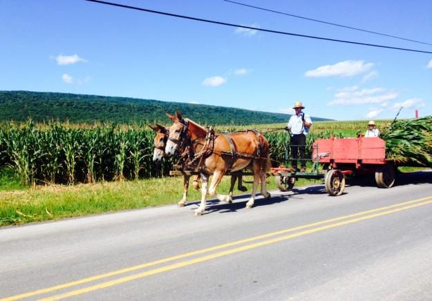 Amish harvesting corn in Brush Valley