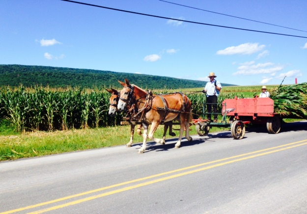 Amish harvesting corn in Brush Valley
